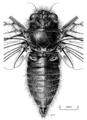 HEMI Cicadidae Maoricicada tenuis m.png