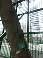HK 觀塘 Kwun Tong 海濱道公園 Hoi Bun Road Park LCSD Dec-2013 台灣相思樹 Acacia confusa tree trunk.JPG