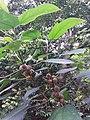 HK hiking 香港 VP 維多利亞山頂 Victoria Peak 舊山頂道 Old Peak Road flora green leaves April 2020 SSG 30.jpg