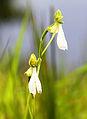 Habenaria longicorniculata cropped.jpg