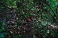 Habitat Rafflesia zollingeriana Kds.jpg