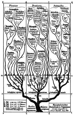 "Clade - Early phylogenetic tree by Haeckel, 1866. Groups once thought to be more advanced, such as birds (""Aves""), are placed at the top."