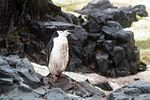 Half Moon Island, Antarctica. Chinstrap Penguin (24309897274).jpg