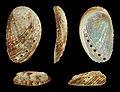 Haliotis tuberculata coccinea 01.JPG