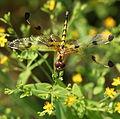 Halloween Pennant Dragonfly (2708075196).jpg