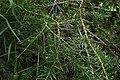 Halocarpus kirkii kz15.jpg