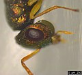 Halticoptera laevigata (35762714833).jpg