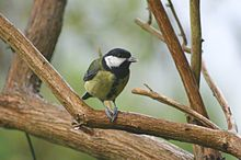 Great Tit on branch with caterpillar between feet