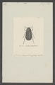 Haplodema - Print - Iconographia Zoologica - Special Collections University of Amsterdam - UBAINV0274 020 04 0020.tif