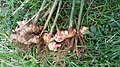 Harvested Ginger plants.jpg