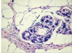 Healthy mammary gland