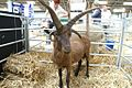 Hebridean ram, Three Counties Show.jpg