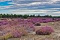 Heide bei Kraupa im Naturpark Niederlausitzer Heidelandschaft. 03.jpg