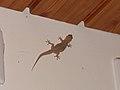 Hemidactylus bowringii (40950136802).jpg