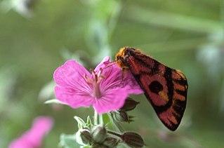 <i>Hemileuca</i> genus of insects