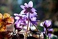 Hepatica nobilis 0521.jpg