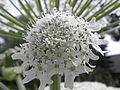 Heracleum mantegazzianum R.H. 07.jpg