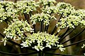 Heracleum sphondylium Gewone Bereklauw (15724245968).jpg