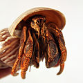 Hermit Crab, raised tan shell.jpg