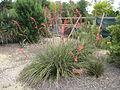 Hesperaloe parviflora, Ponteilla.jpg