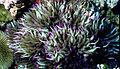 Heteractis malu, Kingman Reef.jpg