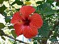 Hibiscus (25418768).jpg