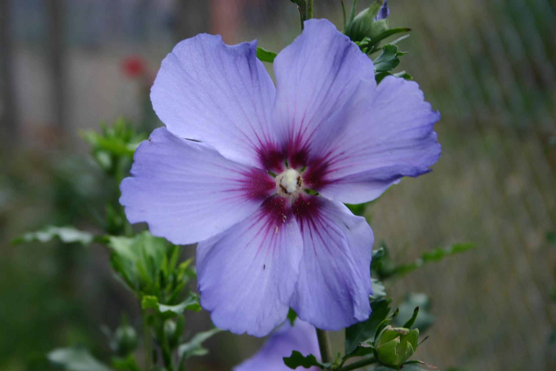 Pharaphrasing the purple hibiscus