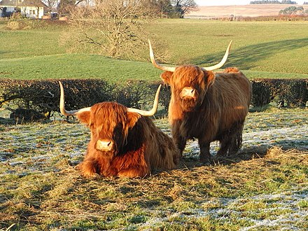 Distinctive Highland Cattle. Numbers of livestock, including cattle have been declining.