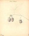 Hindbær - Belle d´Orleans (9244515281) (2).jpg