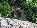 Hoary marmot, Marmota caligata - Flickr - GregTheBusker (2).jpg