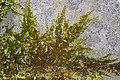 Homalothecium sericeum 112520019.jpg