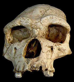 Aude - Skull of Tautavel Man discovered at Tautavel, not far from Aude