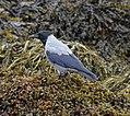 Hooded Crow (36755087023).jpg