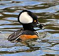 Hooded Merganser with Snail ( another view ) - Flickr - Andrea Westmoreland.jpg