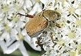 Hoplia-argentea-05-fws.jpg