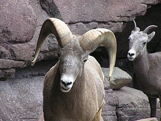 Corneous - This goat has corneous horns.