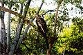 Hornbill (213518148).jpg