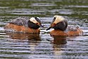 Horned Grebe Pair (5300913515).jpg
