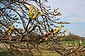 Horse Chestnut tree bursting its buds - geograph.org.uk - 402377.jpg
