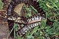 Horseshoe Whip Snake (Hemorrhois hippocrepis) (found by Jean NICOLAS) (36626398395).jpg