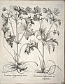Hortus Eystettensis, 1640 (BHL 45339 034) - Classis Verna 23.jpg