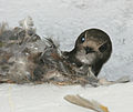 House Swift (Apus affinis) at nest in Hyderabad, AP W IMG 0197.jpg