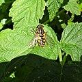Hoverfly, Chapeltoun, North Ayrshire, Scotland.jpg