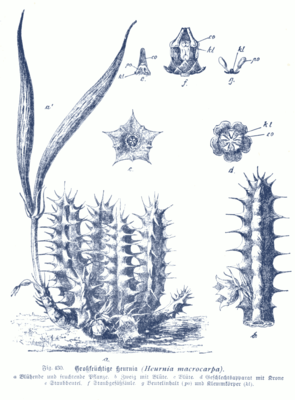 Huernia macrocarpa, Illustration
