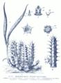 Huernia macrocarpa GS430.png