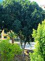 Huge trees in Nicosia Republic of Cyprus.jpg
