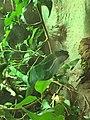 Hugos iguana.jpg