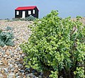 Hut with Sea Spurge - geograph.org.uk - 42406.jpg