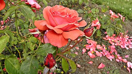 Hybrid Tea - Fragrant Cloud 4 (cr).JPG