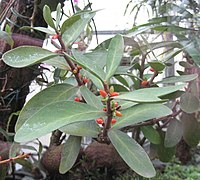Hydnophytum formicarum 01
